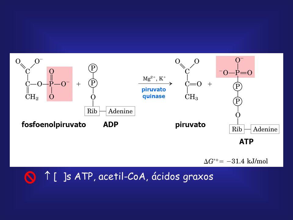  [ ]s ATP, acetil-CoA, ácidos graxos
